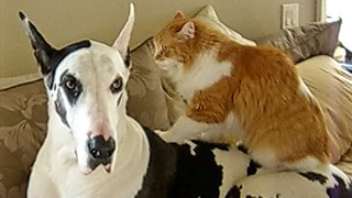 Great Dane enjoys relaxing massage from cat