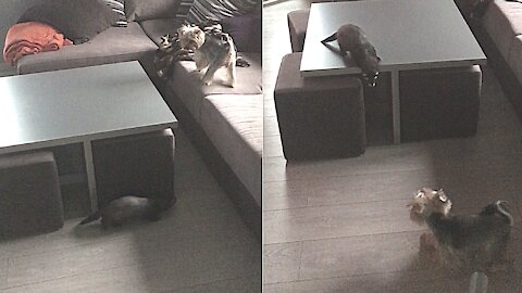 Epic game of tag between dog and ferret best friends