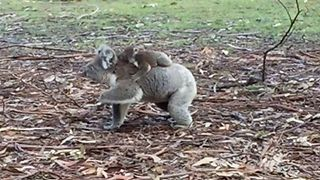 Baby Koala Joey Clutches Onto Mum as She Clambers Up Tree - Video