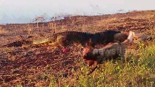 Huge crocodile steals wild dogs' kill in Botswana - Video