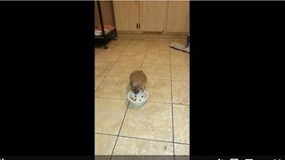 Sneaky Prairie Dog Is Caught Red-Handed Stealing Real Dog's Food - Video