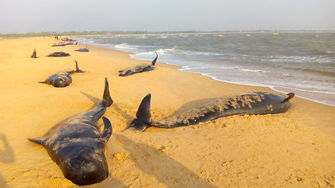 45 Whales Die After Being Stranded On Beach in Tamil