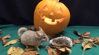 Hamsters, hedgehogs and chinchilla go trick-or-treating - Video