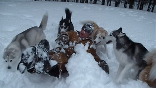 Pack Of Siberian Huskies 'Ruin' Owner's Snow Angel - Video