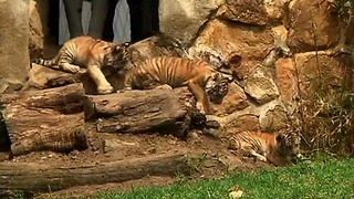 Bengal Tiger Cubs Make Debut - Video
