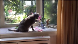 Cat destroys flowers to drink from vase - Video