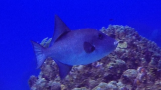 Freaky ocean trigger fish swims without using its tail - Video