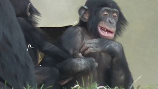 Epic chimpanzee play fight at zoo