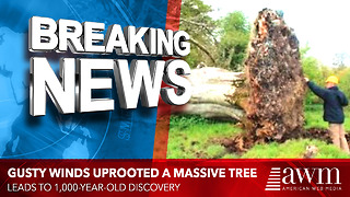 Gusty Winds Uprooted A Massive Tree, Leads To 1,000-Year-Old Discovery - Video