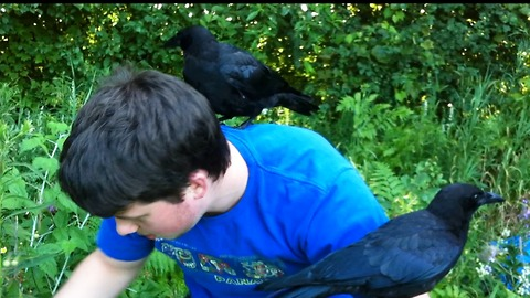 Boy teaches rescued baby crows how to pick raspberries