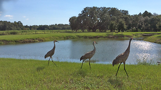 Three Sandhill Cranes enjoying a lakeside stroll - Video