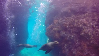 Fearless sea lions frolic among scuba divers - Video