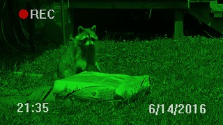 Raccoon escapes with massive bag of cat food - Video