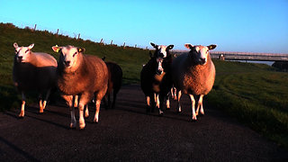 Rebellion sheep cause disruption with a roadblock.