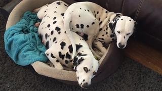 Pregnant Dalmatian takes up the entire bed