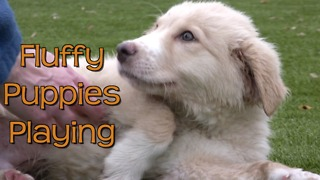Great Pyrenees puppies play at animal shelter - Video