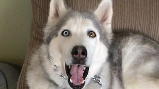 Why is this husky throwing a temper tantrum? The reason will definitely brighten your day. - Video