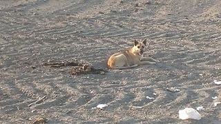 Dog refuses to leave the body of her dead companion - Video