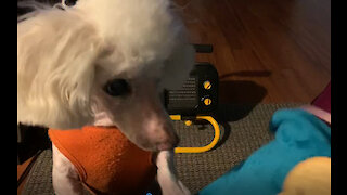 Sneaky poodle is a master cookie theif