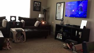 Bulldog puppy fascinated by animated movie - Video