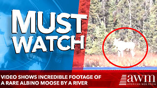 Video shows incredible footage of a rare albino moose by a river