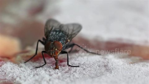 Greedy fly gets its tongue stuck on a frozen steak