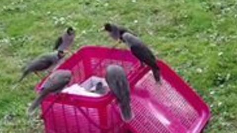 Team Effort - Orphaned Miner Bird Chicks Adopted by Group of Wild Birds