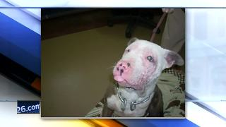Young pit bull recovering after alleged animal abuse in Green Bay - Video