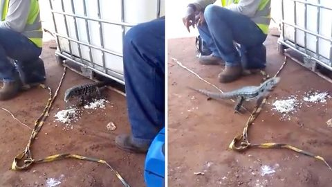 Hungry lizard lunges for man's lunch box