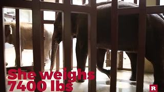 Meet the princess of the National Zoo elephants | Rare Animals - Video