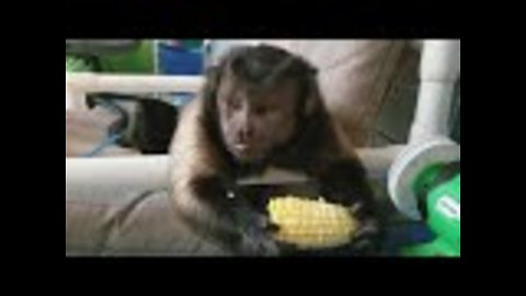 Capuchin monkey feasts on corn on the cob