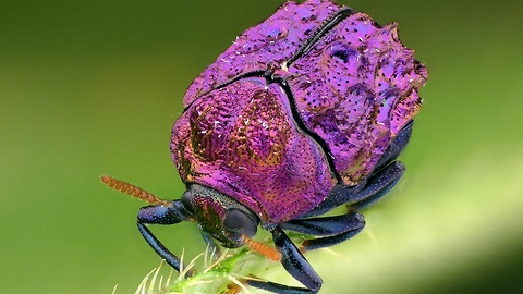 Rare purple beetle from the Amazon rainforest of Ecuador
