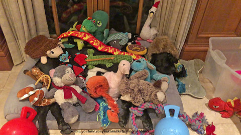 Great Dane totally buried underneath all her toys