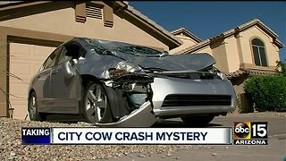Man speaks out after running car into cow - Video