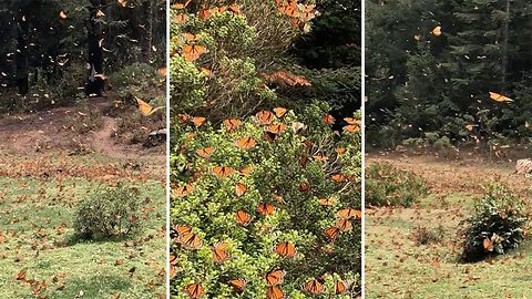 Incredible moment millions of monarch butterflies migrate