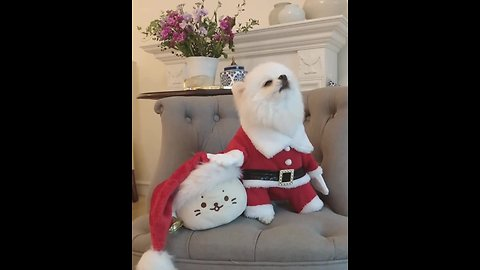 Pomeranian in Santa outfit sings Christmas tunes