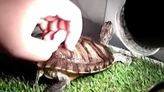 Ever see a turtle that likes being scratched?