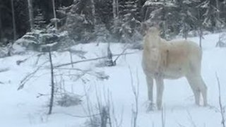 Majestic White Moose Was Spotted Near Highway In Finland - Video