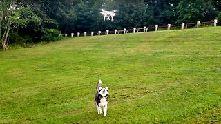 Happy Siberian Husky Chasing and Dancing with a Drone  - Video