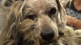Homeless Dog Gets Saved And Taken Through An Incredible Transformation - Video