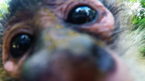 Monkey snatches GoPro to take selfies