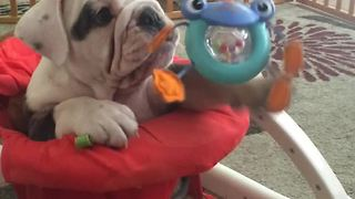 Bulldog Puppy Steals The Chair Of Little Human  - Video