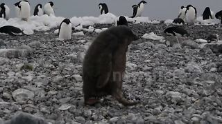 Clumsy Penguin Chick Faceplants On Antarctic Beach, Shakes It Off - Video