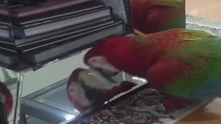 Narcissistic Parrot Loves Talking To Its Mirror Reflection