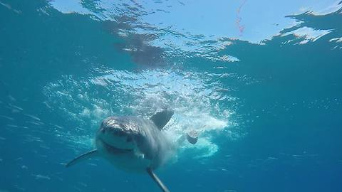 Close call: Great White Shark swims directly at diver