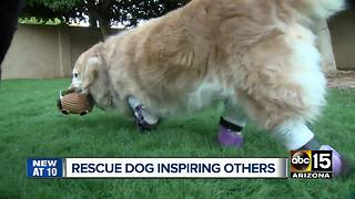 Dog with prosthetic legs rescued from South Korea - Video