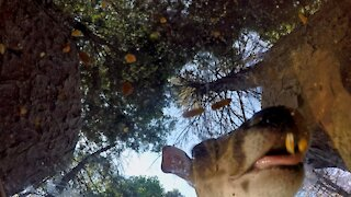 White Tailed Deer - Mouth Cam - Feeding