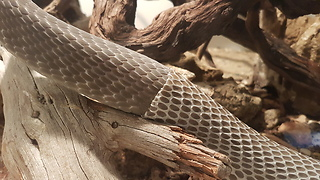 Pet Snake Sheds His Skin On Camera - Video