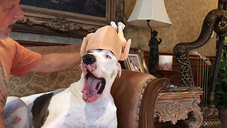 Great Dane not too thrilled about new turkey hat