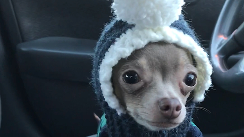 Adorable chihuahua frantically searches for owner